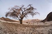 Tree in Unique park Timna — Stock Photo