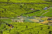スリランカの茶畑 — ストック写真