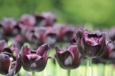 Dark purple tulip — Stock Photo