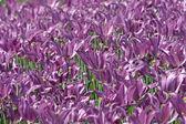 Fialový jarní tulipány — Stock fotografie