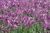 Violet spring tulips — Stock Photo