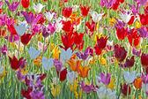 красочные тюльпаны — Стоковое фото