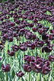 Dark purple tulip — Stockfoto