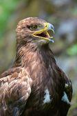 The Steppe Eagle (Aquila nipalensis) - portrait. — Stock Photo