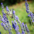 Beautiful Butterfly sitting on lavender plants — Stock Photo