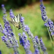 Beautiful Butterfly sitting on lavender plants — Stock Photo #13184850