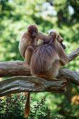 Dvě opice, — Stock fotografie