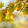 Stock Photo: Autumn maple leaves background