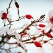 Red rose-hips macro in winter under frost in the cold - Foto de Stock