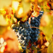 Grapes in vineyard — Stock Photo #23169636