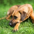 Rhodesian ridgeback dog — Stock Photo #25243685