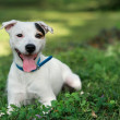 Jack russel on spring forest — Stock Photo