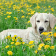 Young Golden Retriever posing between dandelions — Stock fotografie #26628917