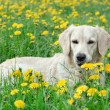 Foto Stock: Young Golden Retriever posing between dandelions