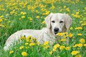 Young Golden Retriever posing between dandelions — Zdjęcie stockowe