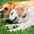 View of two dogs lying — Stock Photo