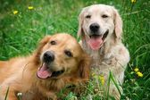 Portrait of two young beauty dogs — Stock Photo