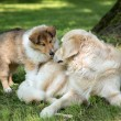 Stock Photo: Of Collie puppy on meadow and golden retriever