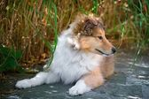 Long-haired collie puppy — Stock Photo