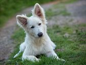 White Swiss Sheepdog — Stock Photo