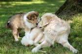 Of Collie puppy on meadow and golden retriever — Stock Photo