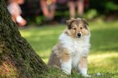 Of Collie puppy on meadow — Stock Photo