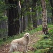 Stock Photo: Dog in forest