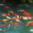 Red and gold fishes over water golden — Stock Photo #35121509