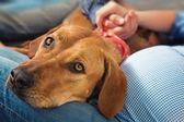 Pies (retriever z nowej szkocji) i ich rodzin — Zdjęcie stockowe