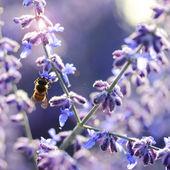 Bee collecting pollen — Stock Photo