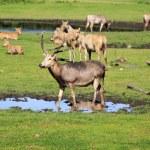 Davids deer's — Stock Photo