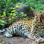 Amur leopard — Stock Photo #31294291