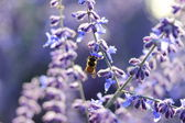 Bee on lavender. — Stock Photo