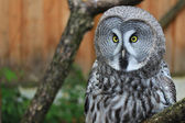 Greate Grey Owl — Stock Photo