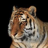 Tiger on black — Stock Photo