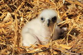 Eagle young chick — Stock Photo