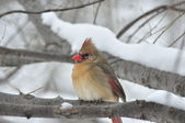 Cardinal In Winter — Stock Photo