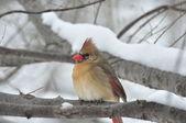 Cardinal In Winter — Stock Photo