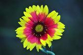 Blanket Flower — Stock Photo