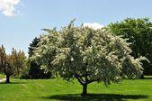 Elma ağacı — Stok fotoğraf