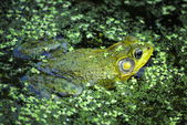 Frog in a Pond — Stock Photo