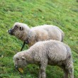 Cute sheeps — Stock Photo