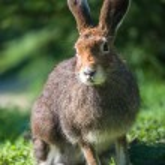 Mountain Hare (lat. Lepus timidus) — Stock Photo