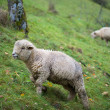 Cute sheep — Stock Photo