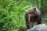 Brown bear (lat. ursus arctos) — Stock Photo