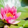 Pink water lilly — Stock Photo #20050859