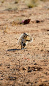 African ground squirrel — Stock Photo