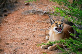 Caracal cat — Stock Photo