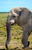 Elephant in Etosha — Stock Photo