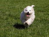Dog Coton de Tulear — Stock Photo